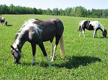 Horses at Ruffed Grouse Lodge in Phillips Wisconsin